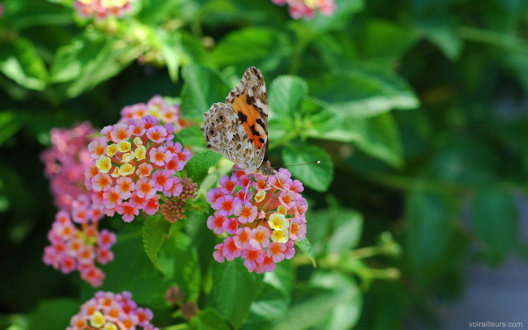 papillon butine des fleurs